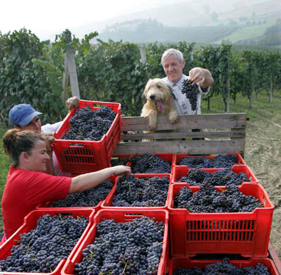 At Castello di Verduno, everyone pitches in at harvest time.